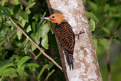 Ringed Woodpecker Celeus Torquatus Poster