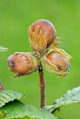 Ripe Hazelnuts (corylus Avellana) Poster by Bob Gibbons