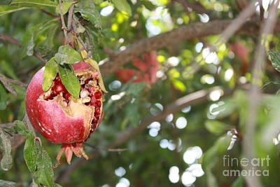 Poster featuring the photograph Ripe Pomegranate by Julie Alison