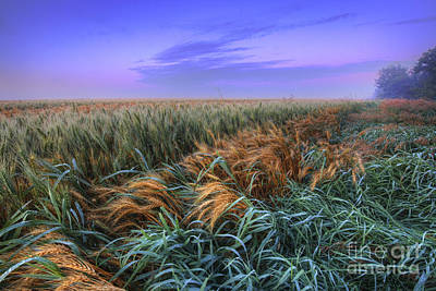 Ripening Barley At Dawn Poster by Dan Jurak