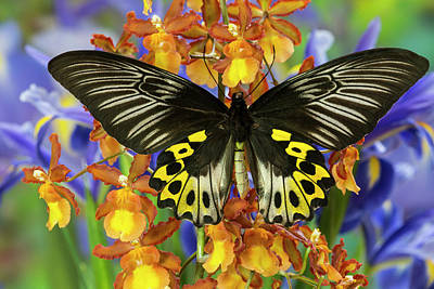 Rippon's Birdwing Butterfly, Female Poster