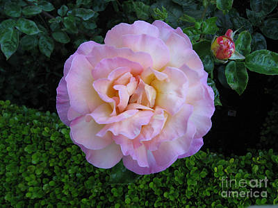 Ritzy Pink Rose Poster