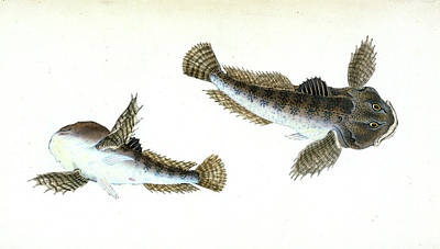 River Bull-head, Cottus Gobio, British Fishes Poster