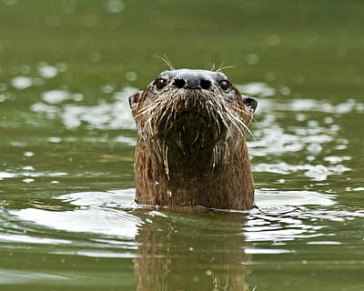 River Otter 1 Poster
