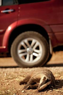 Road Kill - Badger Poster by Photostock-israel
