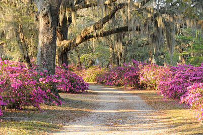 Road With Live Oaks And Azaleas Poster