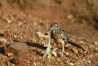Roadrunner With Lizard Poster by Wyman Meinzer/Okapia