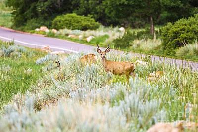 Roadside Buck Poster by Scott Pellegrin