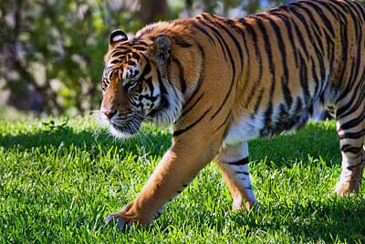 Roaming Tiger Poster