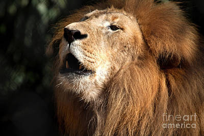 Poster featuring the photograph Roar - African Lion by Meg Rousher