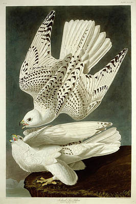 Robert Havell After John James Audubon, Iceland Or Jer Poster by Litz Collection