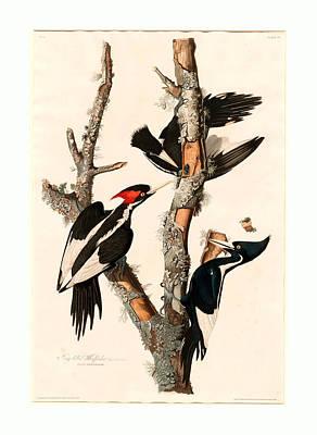 Robert Havell After John James Audubon, Ivory-billed Poster by English School
