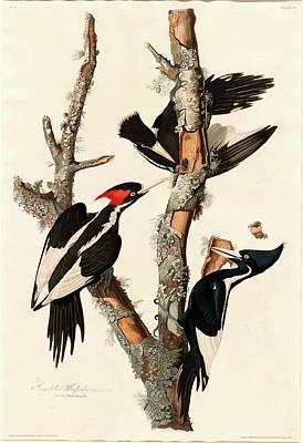 Robert Havell After John James Audubon, Ivory-billed Poster by Litz Collection
