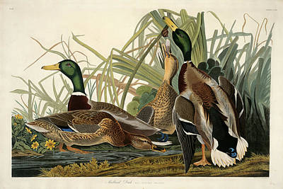 Robert Havell After John James Audubon, Mallard Duck Poster by Quint Lox