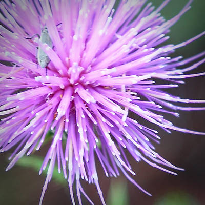 Robert Melvin - Fine Art Photography - Bug And Thistle Poster