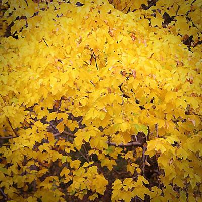 Robert Melvin - Fine Art Photography - Maple Yellow Poster