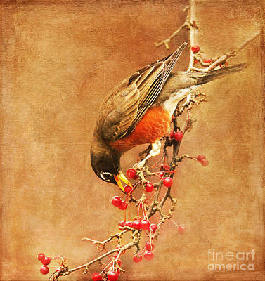 Robin Eating Berries Poster