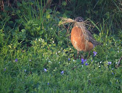 Robin Gathering For Nest Poster