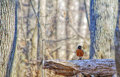 Robin On Billy Goat Trail Poster by Francis Sullivan