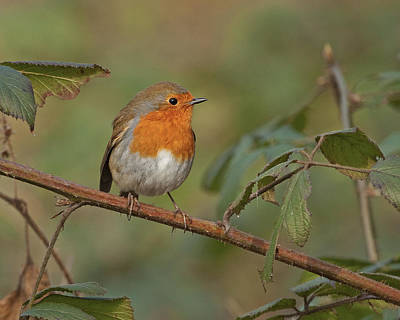 Poster featuring the photograph Robin by Paul Scoullar