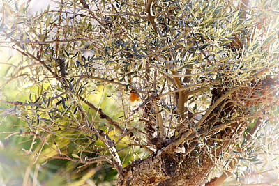 Robin Perched On Olive Tree Poster