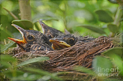 Robins In The Nest Poster