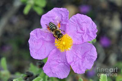 Rockrose Flower With Bee Poster by George Atsametakis