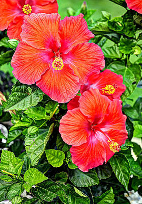 Rocky Hill Hibiscus Poster