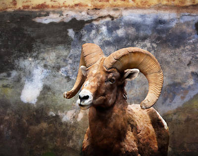 Rocky Mountain Bighorn Sheep In Colorado Poster