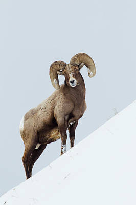 Rocky Mountain Bighorn Sheep Poster