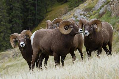 Rocky Mountain Bighorn Sheep Rams Poster