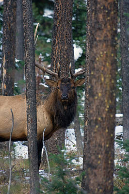 Rocky Mountain Bull Elk In Thick Timber Poster