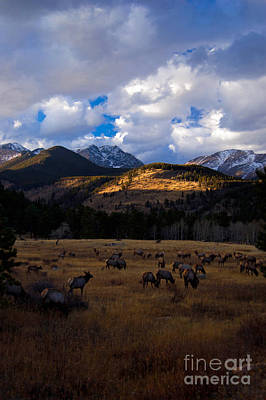 Rocky Mountain Elk Poster