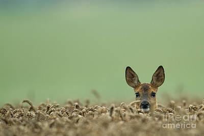 Roe Deer In A Field Poster by Helmut Pieper