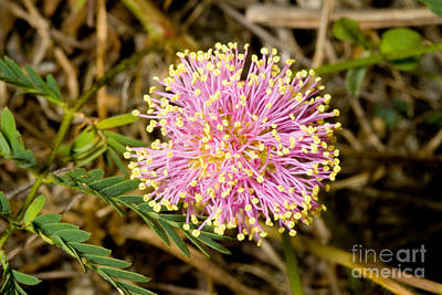Roemers Mimosa Mimosa Roemeriana Poster by Gregory G. Dimijian