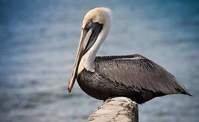 Roosting Pelican Poster