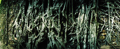 Roots Of An Old Growth Tree, Morro De Poster by Panoramic Images