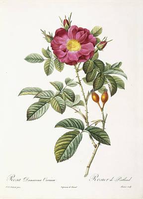 Rosa Damascena Coccina Poster by Pierre Joseph Redoute