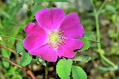 Rosa Pendulina Flower Poster