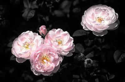 Rose 6 Poster