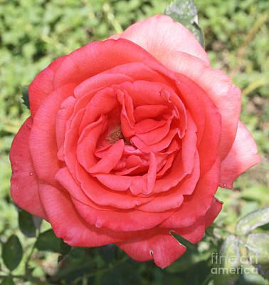 Rose At Clark Gardens Poster