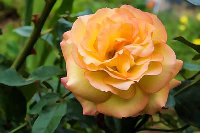 Early Summer Blooms Impressions - Elegant Peach Rose Poster by Georgia Mizuleva