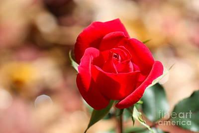 Rose Morning Poster