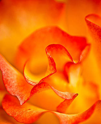 Rose Petals Closeup Poster
