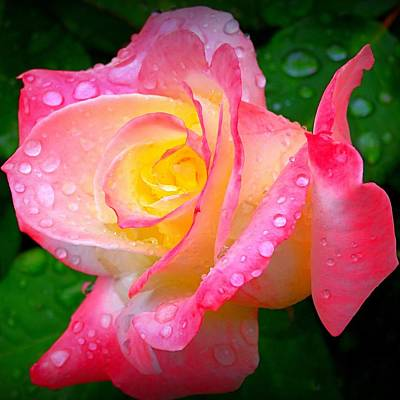 Rose With Water Droplets  Poster by Nick Kloepping
