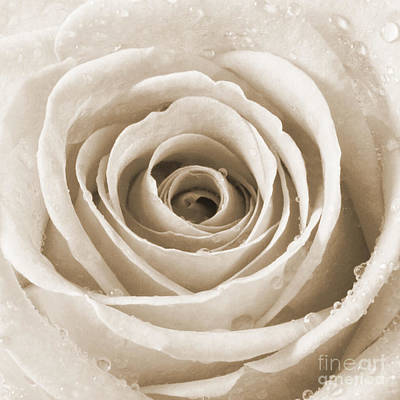 Rose With Water Droplets - Sepia Poster by Natalie Kinnear