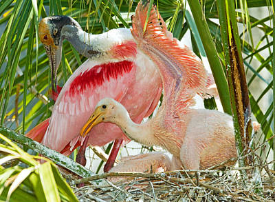 Roseate Spoonbill Adult And Nestlings Poster by Millard H. Sharp