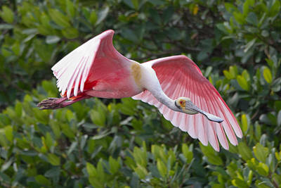 Roseate Spoonbill Flyer Poster by Phil Stone