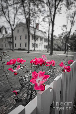 Roses Along A Picket Fence Deerfield Massachuesetts Poster by Edward Fielding
