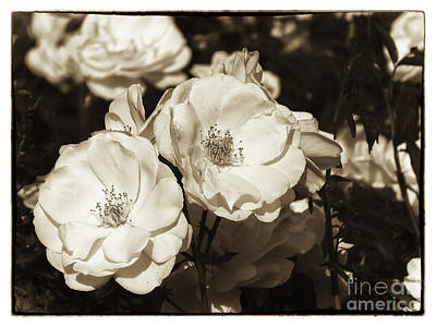 Roses In Monochrome Poster